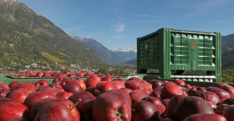 Apple harvesting in Merano & surroundings